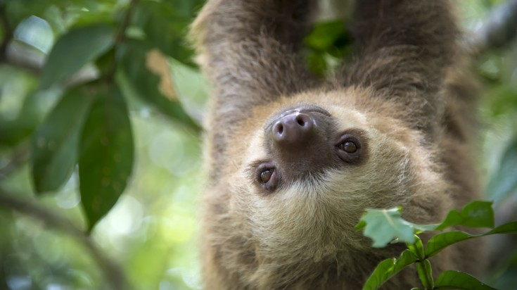 Sloth in a wildlife refuge in Costa Rica