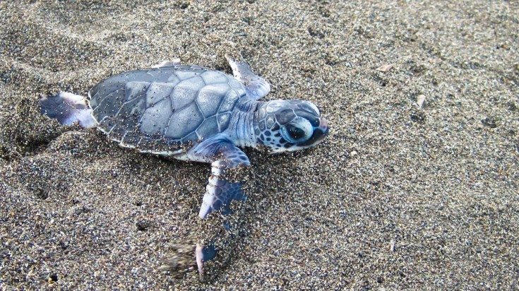 A baby turtle on the shores of Tortuguero in Costa Rica
