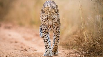 Leopard is one of the Big five animals