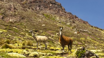 Llamas on the Ausangate trek
