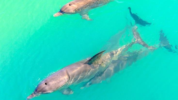Dolphins near the shore at Monkey Mia in western Australia