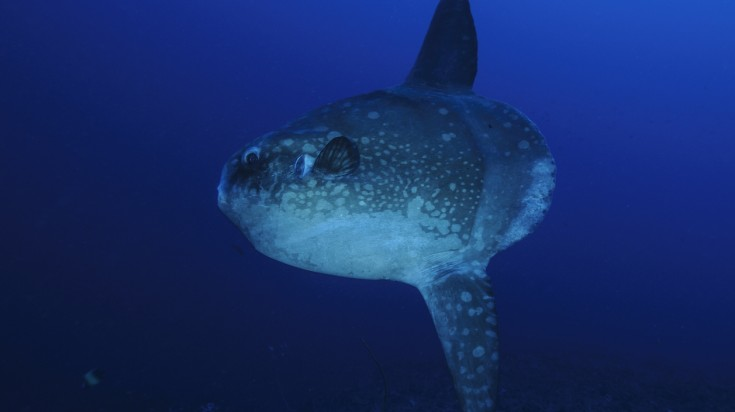 Mola Mola spotted when diving in Indonesia