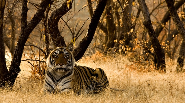 Begal tiger in a forest