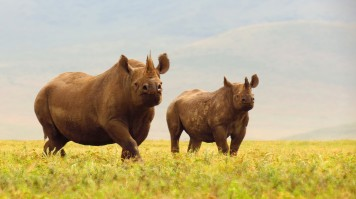 Black rhinos in Ngorongoro Crater