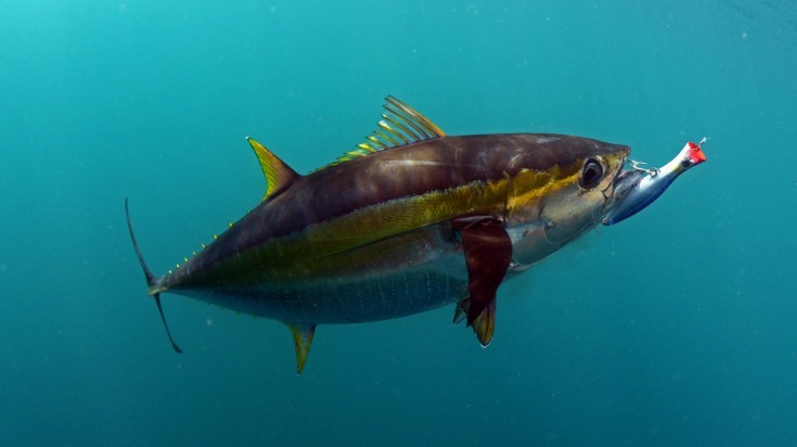 The blue fin tuna is a common catch in most spots for fishing in costa rica