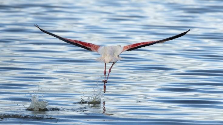 Pink flamingo in Serengeti