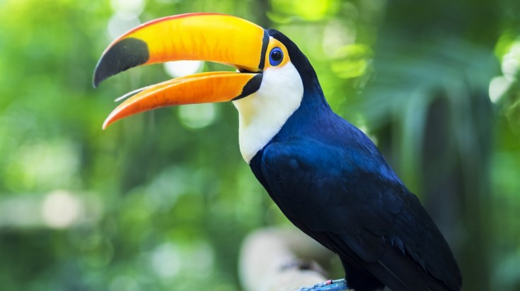 The colorful toucan in Brazil rainforest
