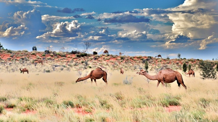 Camels are not native to the Australian desert but they are a common sight.