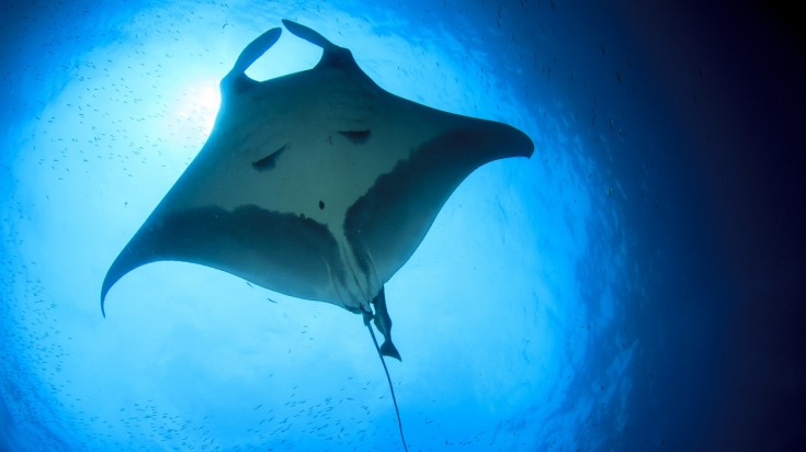 Cano Island in Costa Rica is one of the best dive sites to spot manta rays