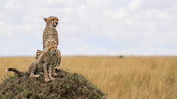 Cheetahs in Ngorongoro Crater