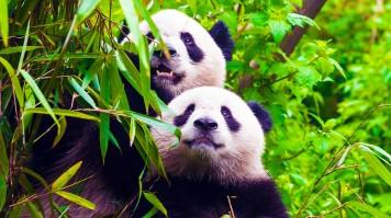Two giant pandas gazing towards the sky
