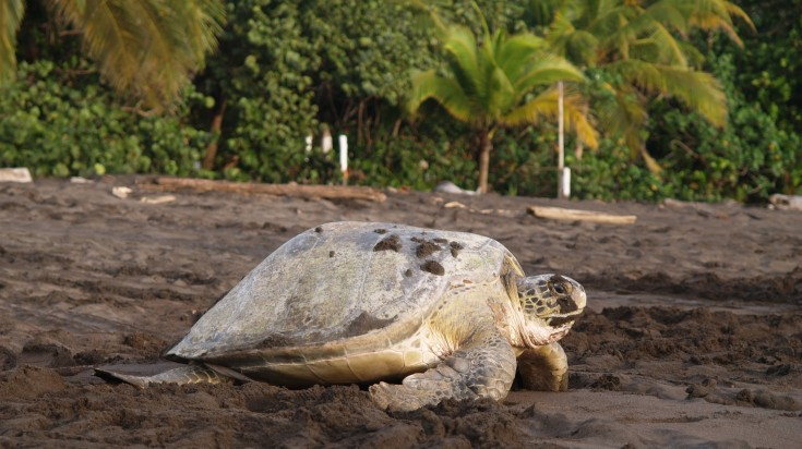 A turtle nesting in Tortuguero National Park, Costa Rica