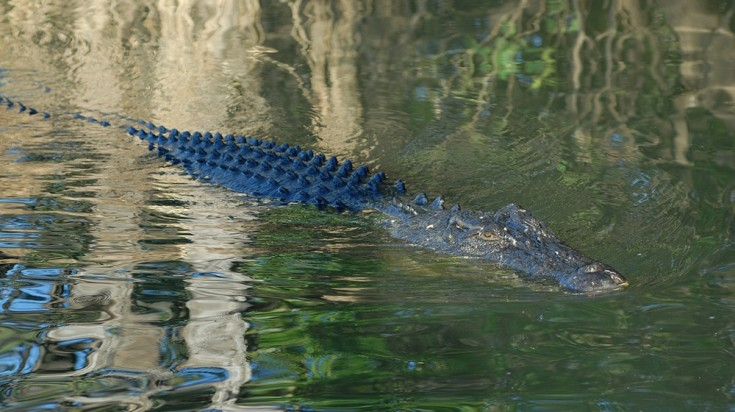 Crocs swim across the Yellow Water Billabong in Kakadu National Park