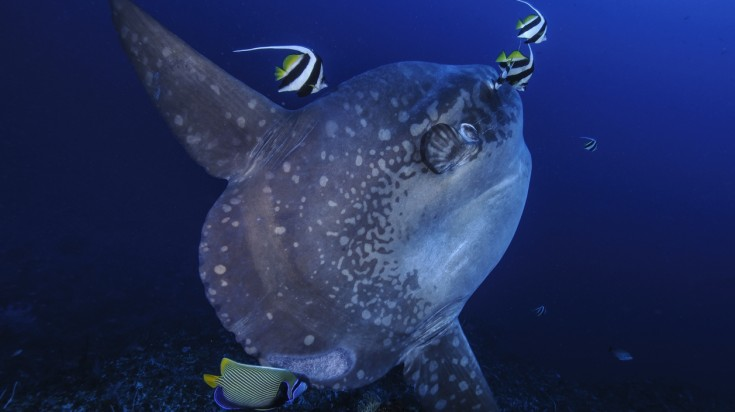 When you go diving in Bali, the sunfish is a rare but popular fish to sight