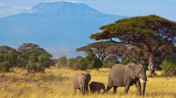 Elephant family grazing on the tall grasses of the Savannah