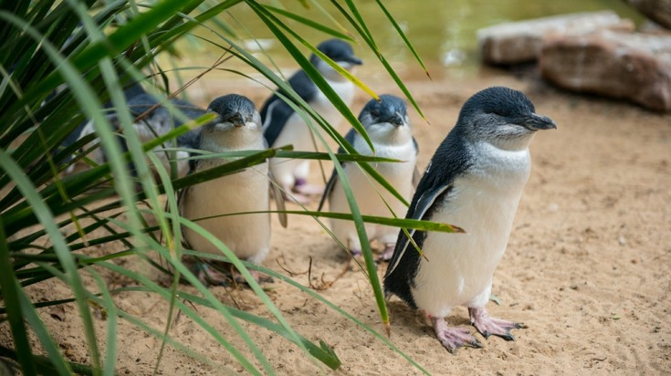 Fairy penguins, smallest penguins on earth can be found in Australia