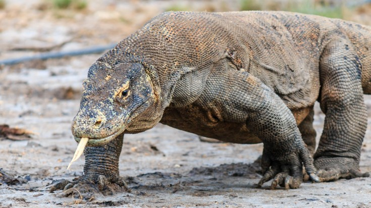 Nearby Flores Island is Komodo Island where you can meet the dragons.