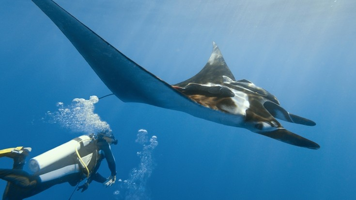 A diver crosses paths with a giant manta ray while diving in Costa Rica