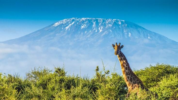 Giraffe peeking with Mount Kilimanjaro in the back