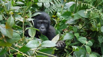 December - January is the best time to visit Uganda for gorilla tracking