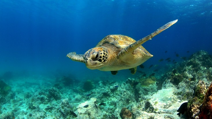 Divers may encounter sea turtles while diving in Costa Rica