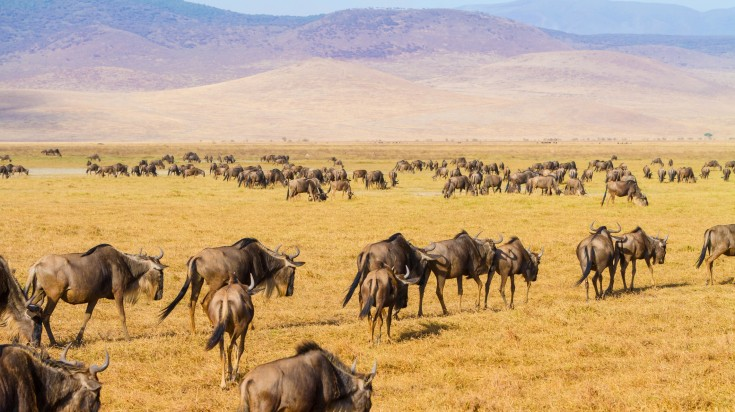 A close view of Wildebeest at Ngorongoro crater