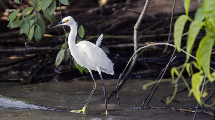 Tortuguero is also home to many species of birds