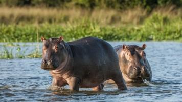 Hippopotamus in the Katavi National Park