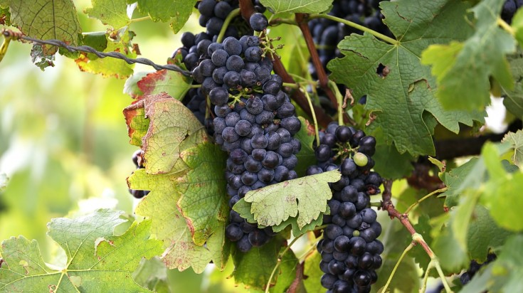 Hunter Valley has many varieties of wines made from the finest grapes.