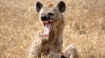 Hyena showing tongue