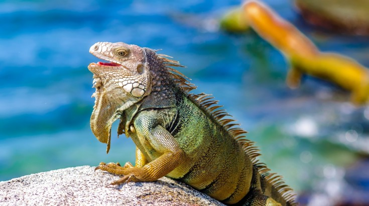 Iguana at the Tayrona National park beach