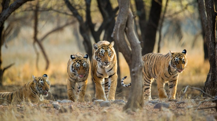 Four Royal Bengal tigers in the forest