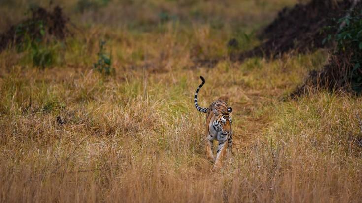 Tiger Safari in Kanha National Park