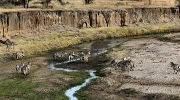 View of Zebras in Tarangire National Park.