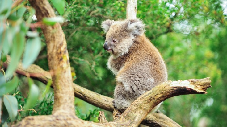 Things to do in Perth - koala