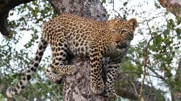 Spot a Leopard on a luxury safari in Malawane