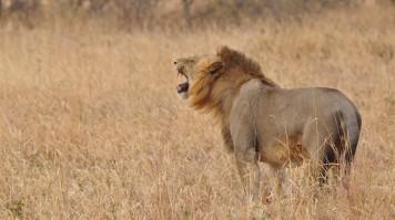A lion roaring in Ngorongoro Crater Tanzania