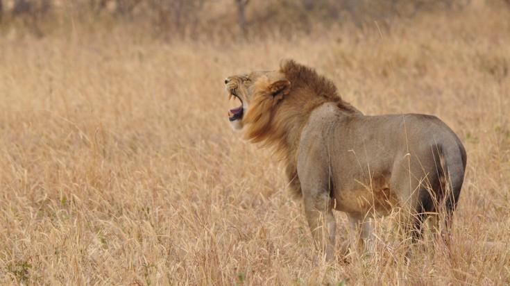 A lion roaring in Ngorongoro Crater Tanzania.
