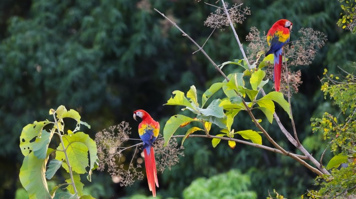 Spotting the bright scarlet macaw is a fun thing to do in Liberia.
