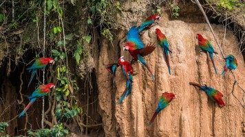 Macaws at Manu National Park in Peru