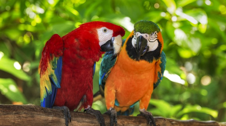 Macaws in the wild in Costa Rica