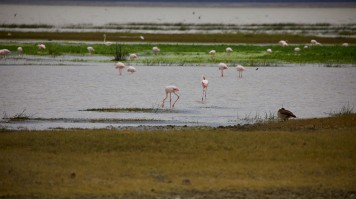 Flamingos drinking water from the lake in Ngorongoro Carter.