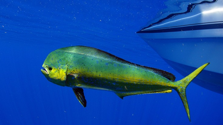 Mahi mahi for fishing in Costa Rica