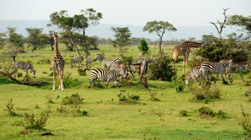 Various animals grazing in the grassland of Mikumi National Park