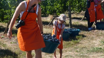 My Harvest in MontGras Winery