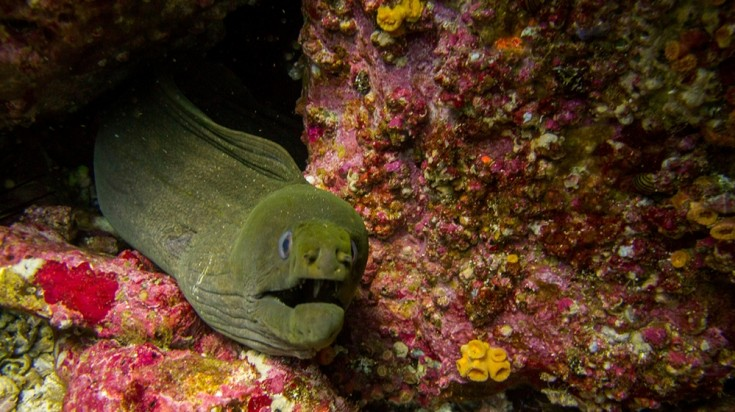 Moray eels are a common sighting while diving in Costa Rica