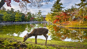 Nara park in Nara is home to hundreds of freely traveling deer