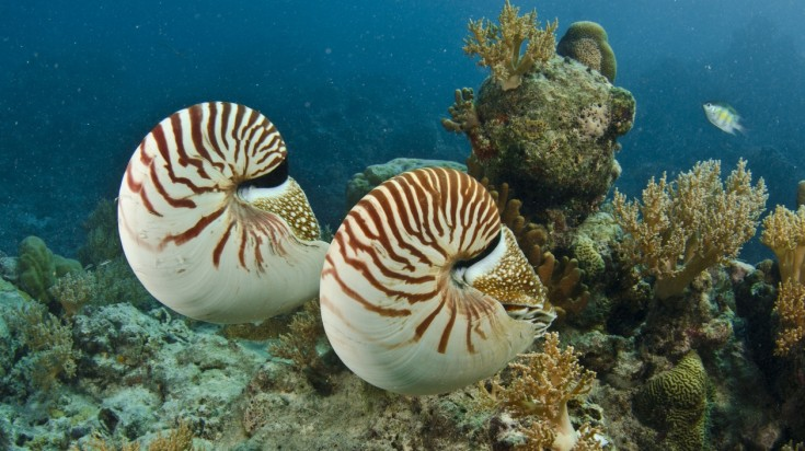 Nautilus pompilius spotted in Great Barrier Reef.