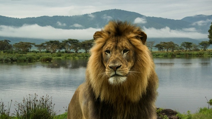 African lion in a Tanzania national park