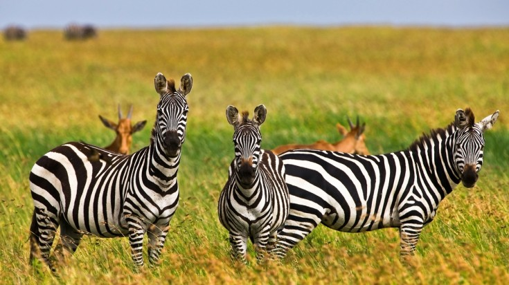 Zebras and deers in Ngorongoro Conversation area